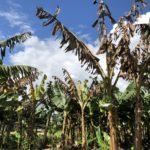 Folleto «Fusarium TR4: Una amenaza para Canarias»